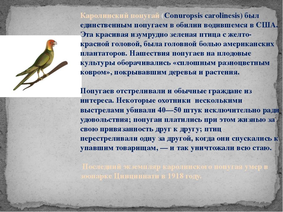 Каролинский попугай (Conuropsis carolinesis) был единственным попугаем в обил...
