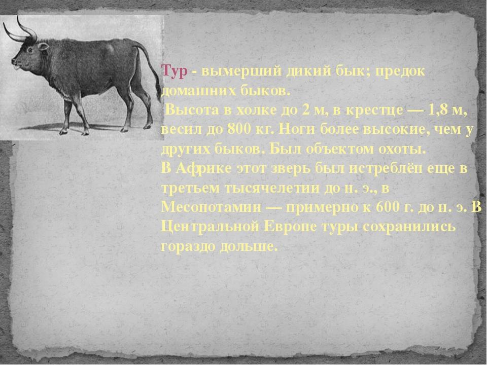 Тур - вымерший дикий бык; предок домашних быков. Высота в холке до 2 м, в кре...