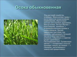 Род растений семейства осоковых. Многолетние травы с ползучими или укороченн