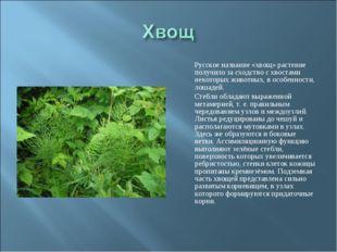 Русское название «хвощ» растение получило за сходство с хвостами некоторых ж