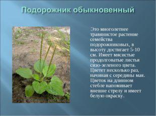 Это многолетнее травянистое растение семейства подорожниковых, в высоту дост