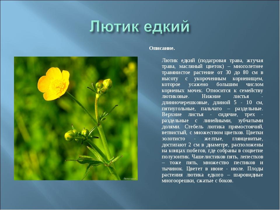 Описание. Лютик едкий (подагровая трава, жгучая трава, масляный цветок) – мно...