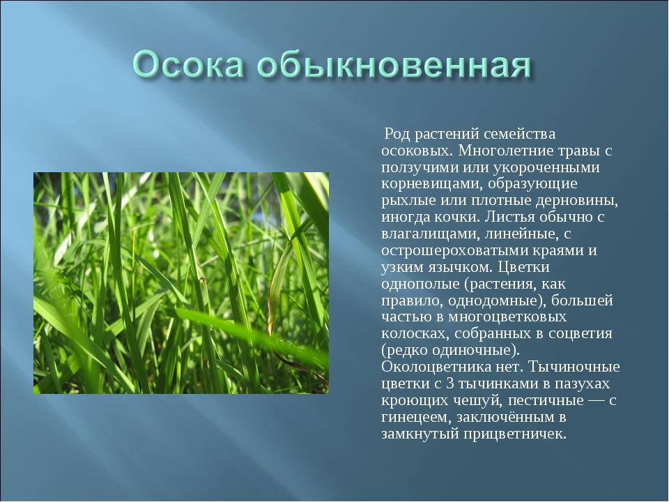 Род растений семейства осоковых. Многолетние травы с ползучими или укороченн...