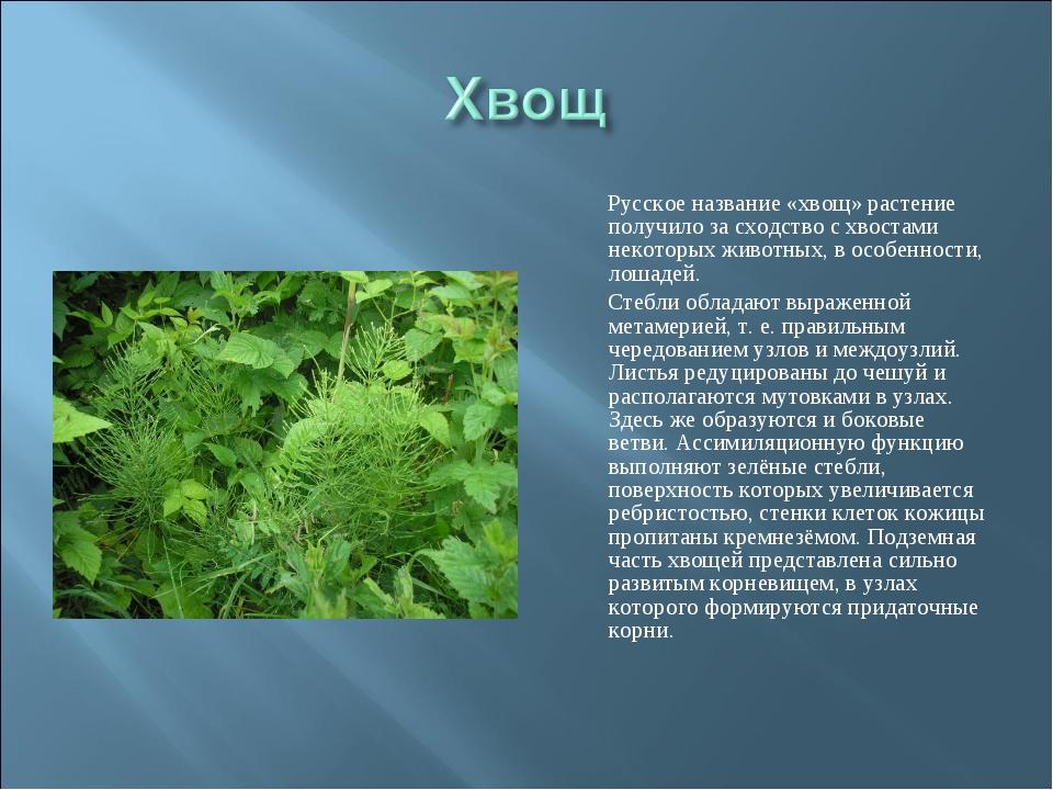 Русское название «хвощ» растение получило за сходство с хвостами некоторых ж...