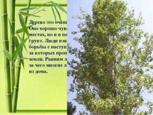 Дерево это очень быстро растет: в сутки до 6см. Оно хорошо чувствует себя не