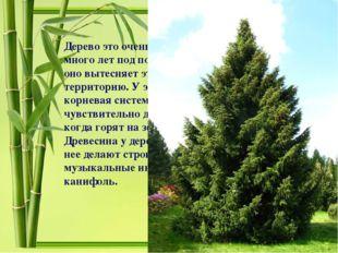 Дерево это очень теневыносливо и может расти много лет под пологом других пор