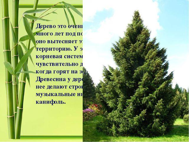 Дерево это очень теневыносливо и может расти много лет под пологом других пор...