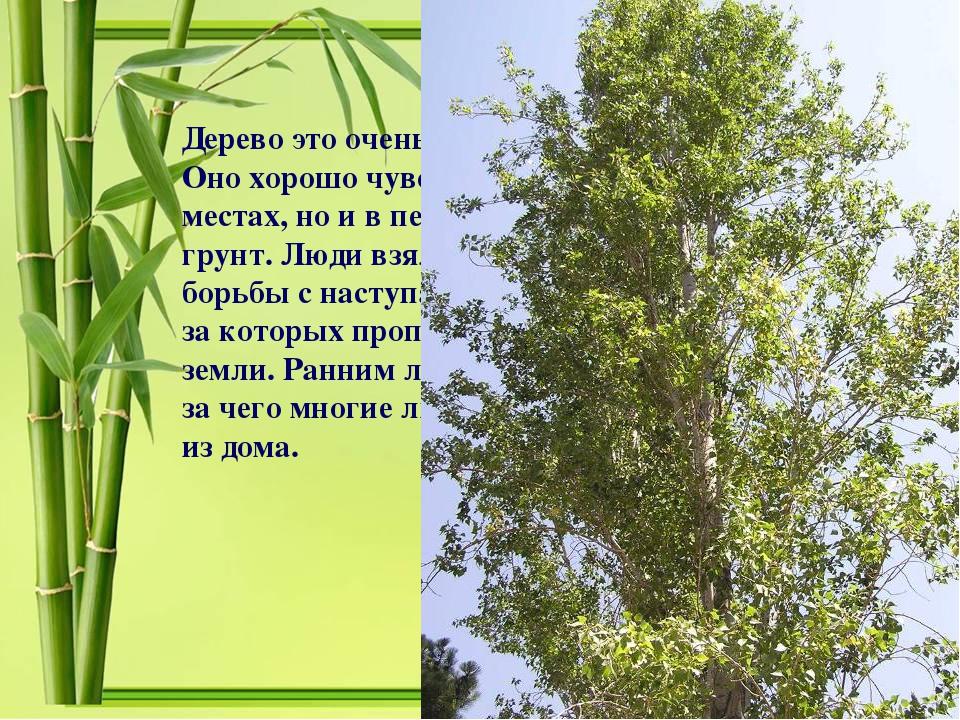 Дерево это очень быстро растет: в сутки до 6см. Оно хорошо чувствует себя не...