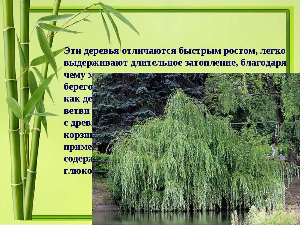 Эти деревья отличаются быстрым ростом, легко выдерживают длительное затоплени...