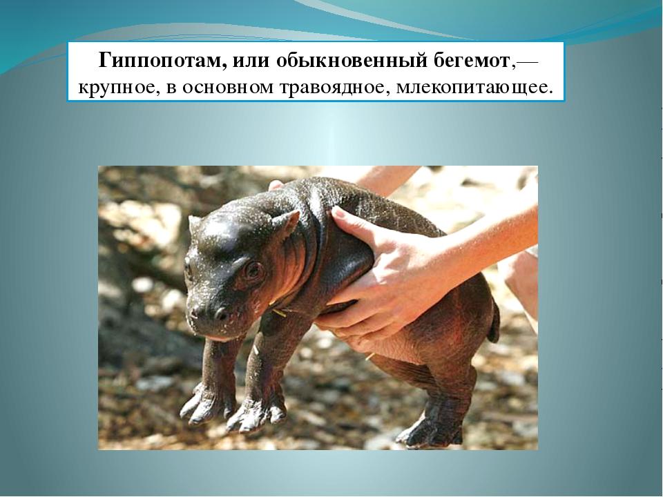 Гиппопотам, или обыкновенный бегемот,— крупное, в основном травоядное, млеко...