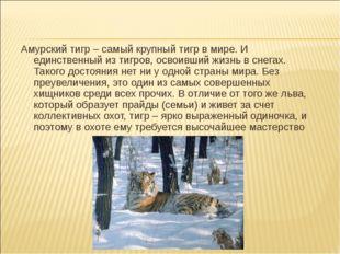 Амурский тигр – самый крупный тигр в мире. И единственный из тигров, освоивши