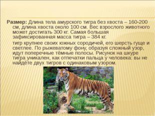 Размер: Длина тела амурского тигра без хвоста – 160-200 см, длина хвоста окол