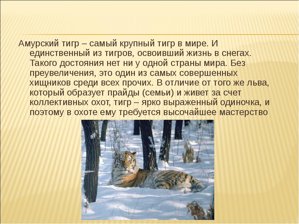 Амурский тигр – самый крупный тигр в мире. И единственный из тигров, освоивши...