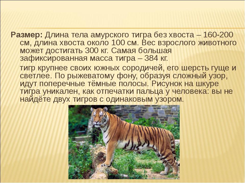 Размер: Длина тела амурского тигра без хвоста – 160-200 см, длина хвоста окол...