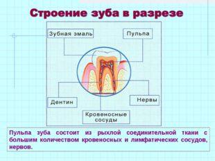 Пульпа зуба состоит из рыхлой соединительной ткани с большим количеством кров