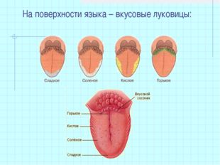 На поверхности языка – вкусовые луковицы: