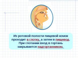 Из ротовой полости пищевой комок проходит в глотку, а затем в пищевод. При гл