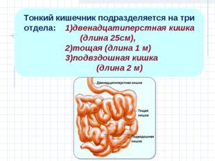 Тонкий кишечник подразделяется на три отдела: 1)двенадцатиперстная кишка (дли