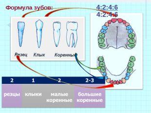 Формула зубов: 4:2:4:6  4:2:4:6
