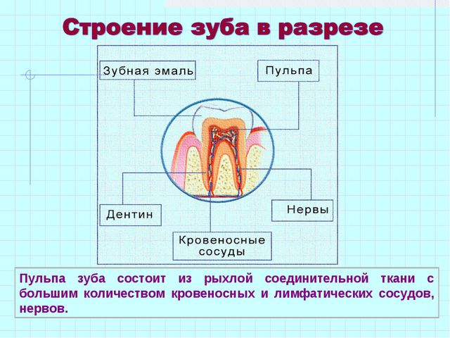 Пульпа зуба состоит из рыхлой соединительной ткани с большим количеством кров...