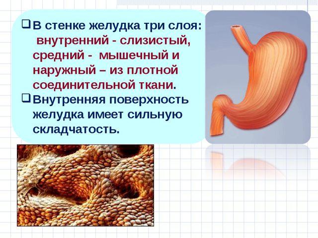 В стенке желудка три слоя: внутренний - слизистый, средний - мышечный и наруж...