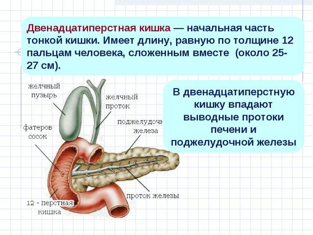Двенадцатиперстная кишка — начальная часть тонкой кишки. Имеет длину, равную...