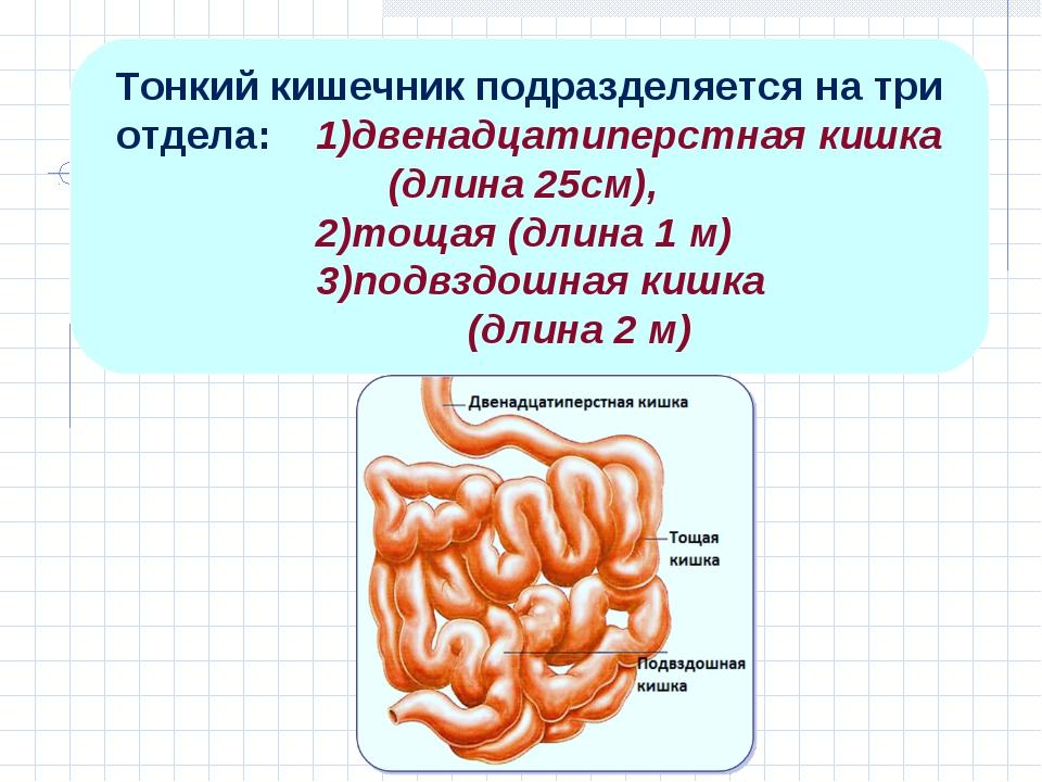 Тонкий кишечник подразделяется на три отдела: 1)двенадцатиперстная кишка (дли...