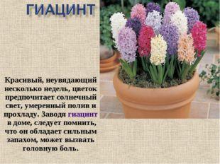 Красивый, неувядающий несколько недель, цветок предпочитает солнечный свет, у