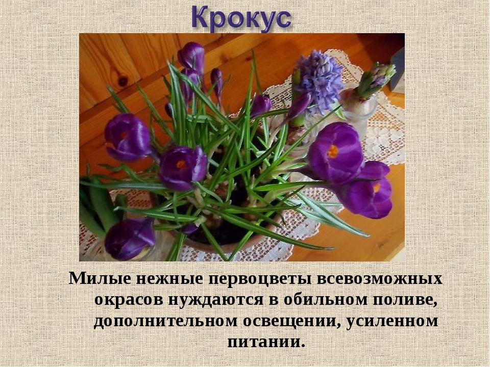 Милые нежные первоцветы всевозможных окрасов нуждаются в обильном поливе, доп...