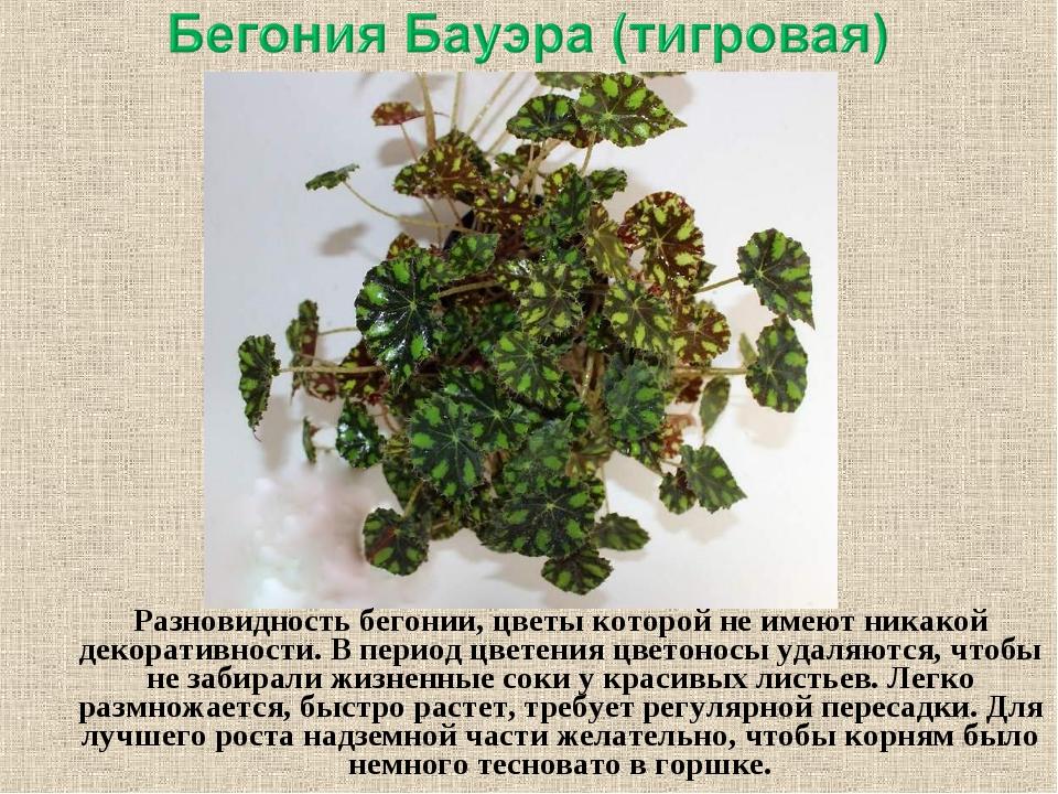 Разновидностьбегонии, цветы которой не имеют никакой декоративности. В пери...