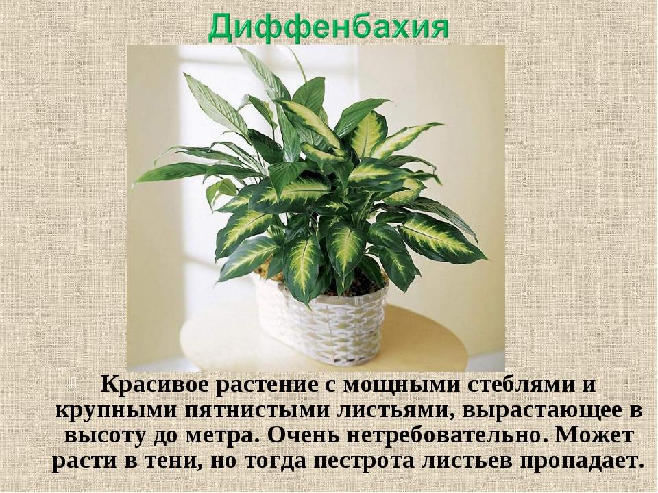 Красивое растение с мощными стеблями и крупными пятнистыми листьями, вырастаю...