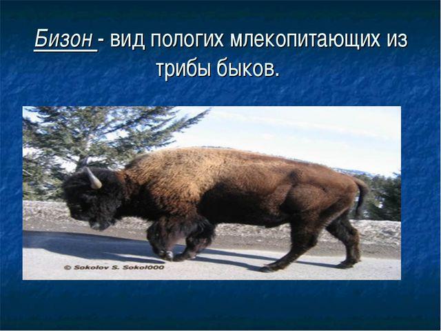 Бизон - вид пологих млекопитающих из трибы быков.