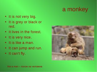 a monkey It is not very big. It is grey or black or red. It lives in the fore