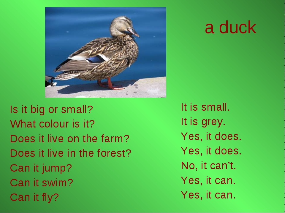 a duck It is small. It is grey. Yes, it does. Yes, it does. No, it can't. Yes...