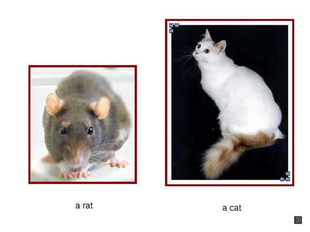 a cat a rat