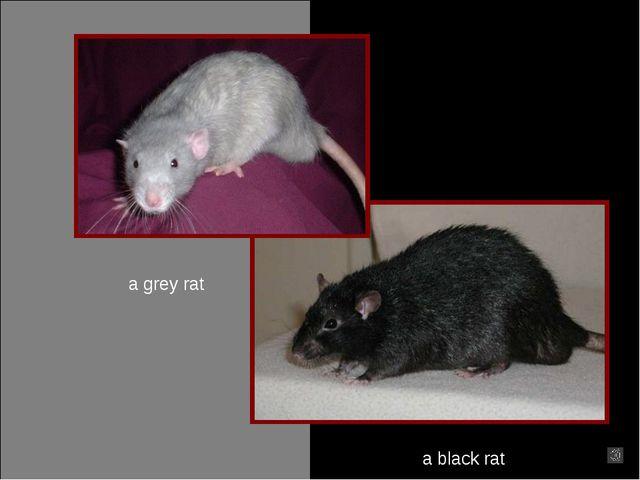 a grey rat a black rat
