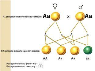 F1 (первое поколение потомков) Х А а А а F2 (второе поколение потомков) АА Аа