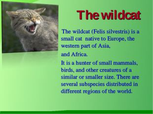 The wildcat The wildcat (Felis silvestris) is a small cat native to Europe, t