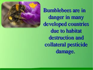 Bumblebees are in danger in many developed countries due to habitat destruct