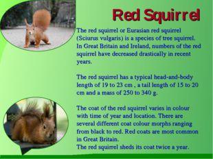 Red Squirrel The red squirrel or Eurasian red squirrel (Sciurus vulgaris) is