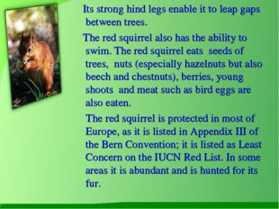 Its strong hind legs enable it to leap gaps between trees. The red squirrel
