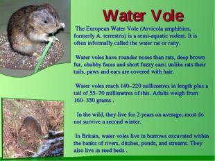 Water Vole The European Water Vole (Arvicola amphibius, formerly A. terrestr