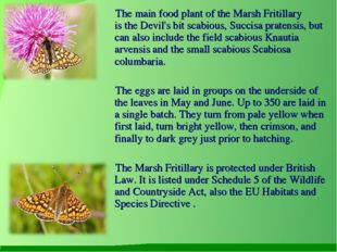 The main food plant of the Marsh Fritillary is the Devil's bit scabious, Suc