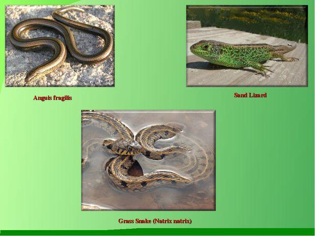 Anguis fragilis Sand Lizard Grass Snake (Natrix natrix)