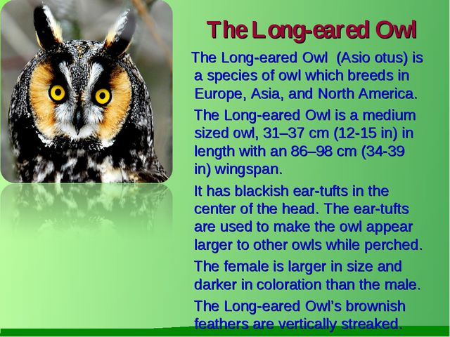 The Long-eared Owl The Long-eared Owl (Asio otus) is a species of owl which b...