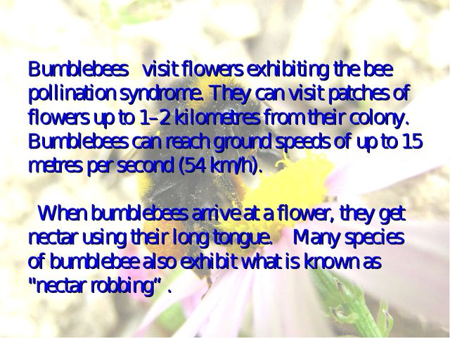 Bumblebees visit flowers exhibiting the bee pollination syndrome. They can vi...