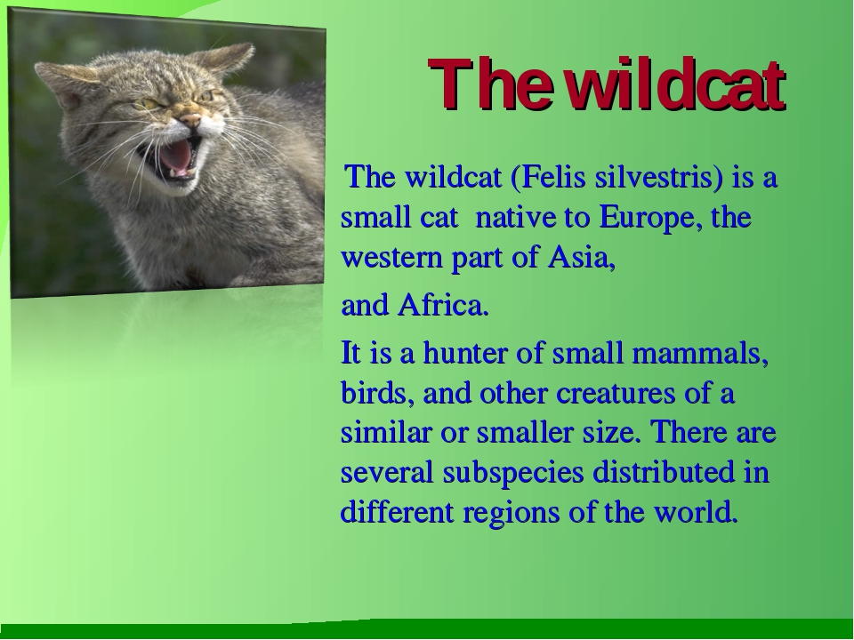 The wildcat The wildcat (Felis silvestris) is a small cat native to Europe, t...
