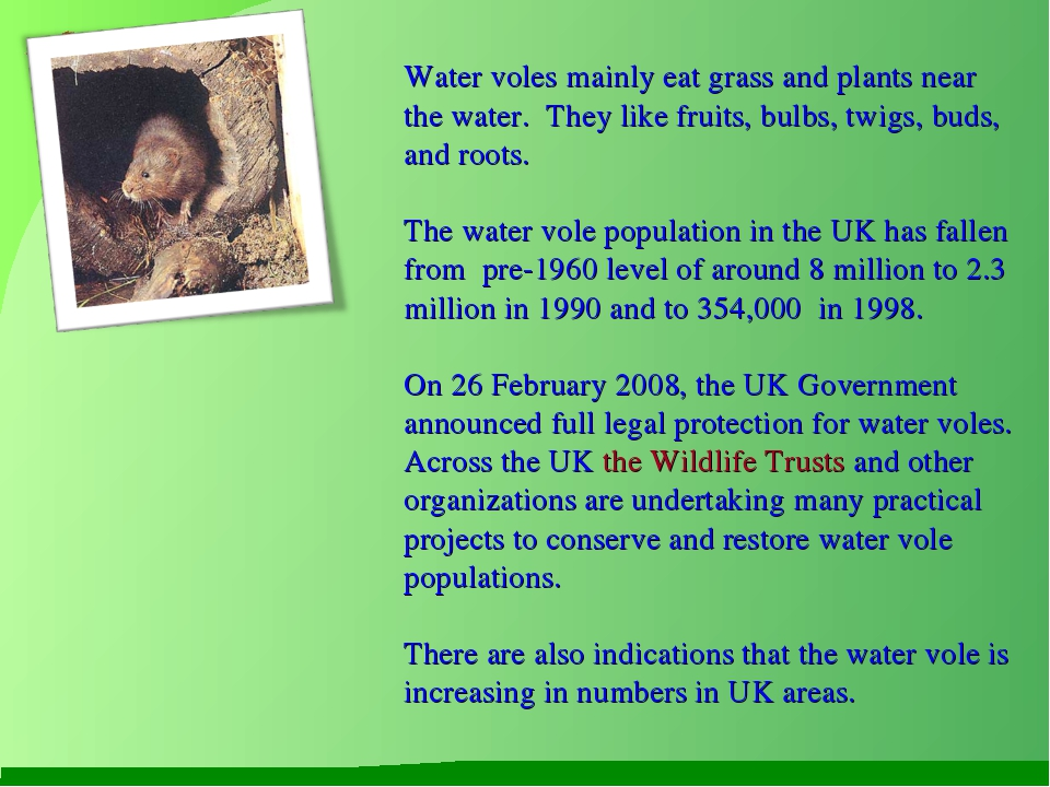 Water voles mainly eat grass and plants near the water. They like fruits, bul...
