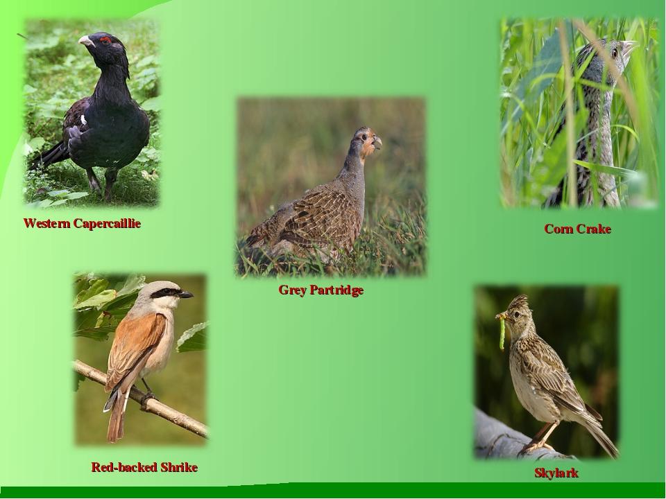 Western Capercaillie Corn Crake Grey Partridge Red-backed Shrike Skylark