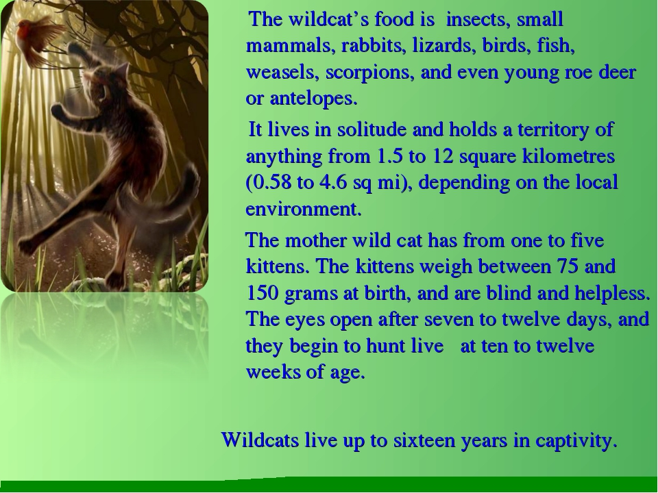 The wildcat's food is insects, small mammals, rabbits, lizards, birds, fish,...
